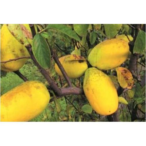 木瓜一般什么时候栽种?栽培技术技术性关键点有什么?
