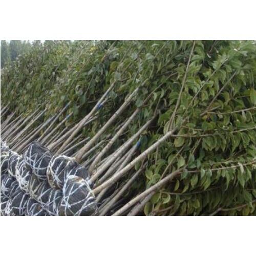 大连市樱桃苗木价格是要多少钱一棵?附栽种关键点