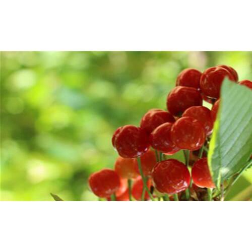 樱桃果苗一般要多少钱一棵?把握这种栽培技术就可增产!