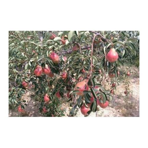 能够吸的红啤梨几月份完善?多少钱一斤?我国的原产地在哪儿?