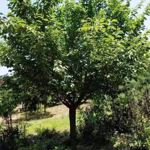 樱花苗木价格是要多少钱一棵?一般何时栽种?