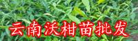 适合云南,广西种植的沃柑苗|2020年丰产沃柑苗种植技术