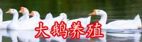 一只鹅成本要多少钱?养殖条件-