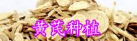 中草药黄芪人工种植技术-