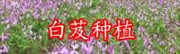 云南白芨药用价值-白芨图片