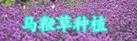 马鞭草种植方法-功效与作用