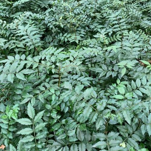 花椒树栽培技术:種子栽种什么时间那时候?一亩地必须是多少棵花椒苗?