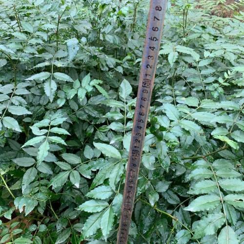 花椒苗要多少钱一棵?合适什么地域栽种?一亩栽是多少棵?