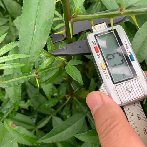 花椒树剪修時间和剪修技术性关键点详细介绍
