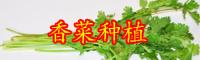 目前云南香菜多少钱一斤?