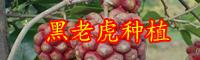现在黑老虎水果多少钱一斤?好种吗,黑老虎种植技术