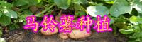 云南现在马铃薯价格大概多少钱一斤?附综合加工技术