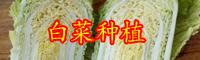 云南白菜(苗)价格多少钱一斤?种植前景怎么样?