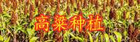 云南高粱市场价格多少钱一斤?亩产多少?