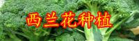 2019年云南西兰花价格是多少钱一斤?栽培技术要点有哪些?