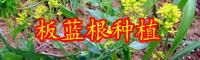 云南中药材板蓝根别名叫什么?其种子价格大概多少钱一斤?