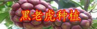 年云南黑老虎种苗价格为多少钱一株?栽培技术要点是什么?