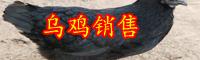 云南乌鸡多少钱一斤?2020年养殖赚钱吗?
