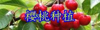 """云南""""水果之冠""""樱桃树一年结几次果?一棵能结多少果实?"""