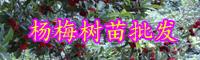 云南杨梅树苗多少钱一棵?什么时候种植?