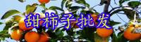 云南甜柿子树苗价格多少钱一株?