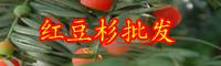 云南常绿乔木红豆杉的养殖方法和注意事项有哪些?