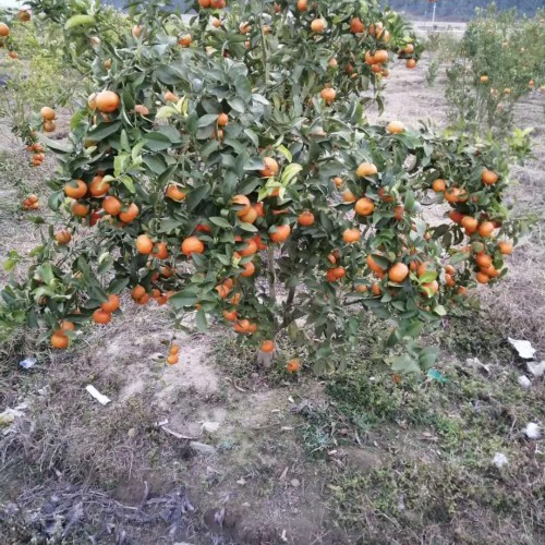 沙糖桔苗价钱要多少钱一棵?它的作用和功效有什么?
