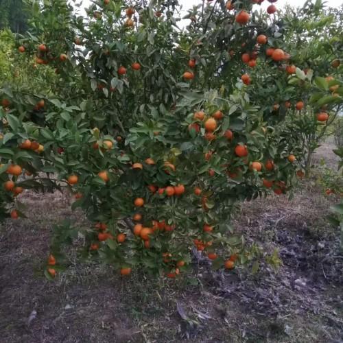 沙糖桔增产栽种四大关键点详细介绍!