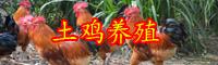 土鸡饲养四季管理方法技术性详细介绍!