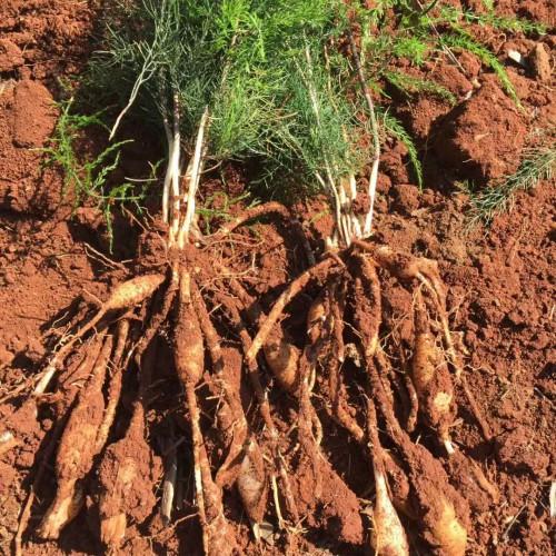 详细说明天冬价格行情及高产种植技术!
