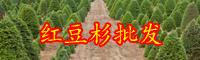 云南省红豆杉苗木价格是要多少钱一棵?盆栽植物关键点有什么?