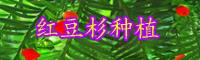 红豆杉小苗价格多少钱一棵?如何鉴别公和母?