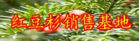 """""""绿色植物金子""""红豆杉如何养?常见问题有什么?"""