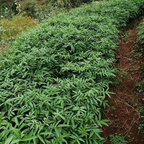 芸香科花椒的种植前景如何?1亩盈利有是多少?