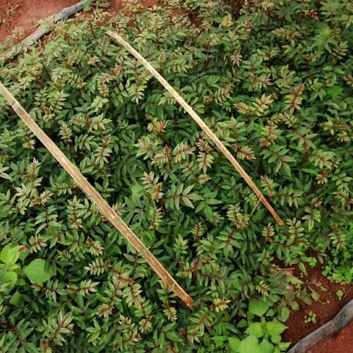 栽种5亩花椒的盈利有是多少?栽种管理方法技术性有什么?