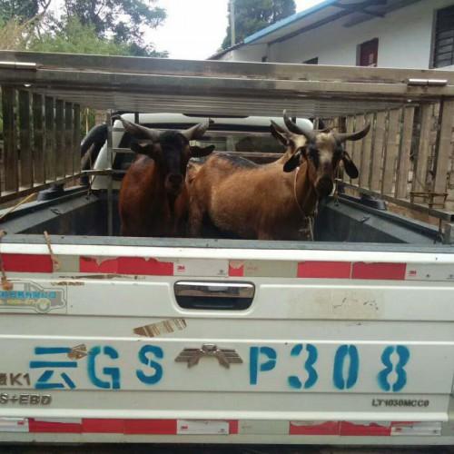 弥勒县红骨羊销售\红骨羊批发基地