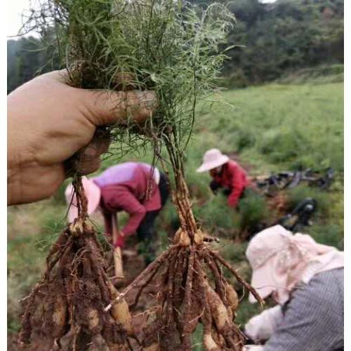 云南哪里有天冬批发_天冬种子种植技术