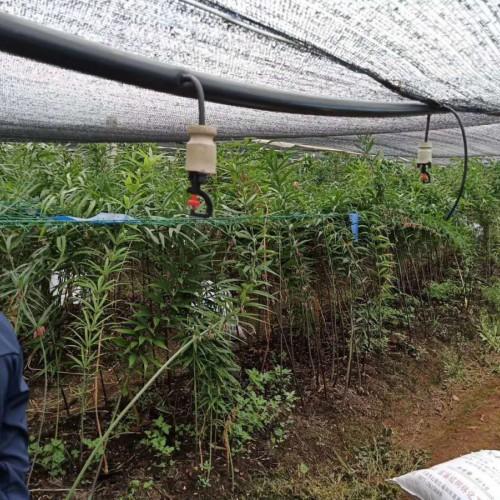 黄精苗木多少钱一斤?栽种一亩黄精必须是多少斤黄精苗木?