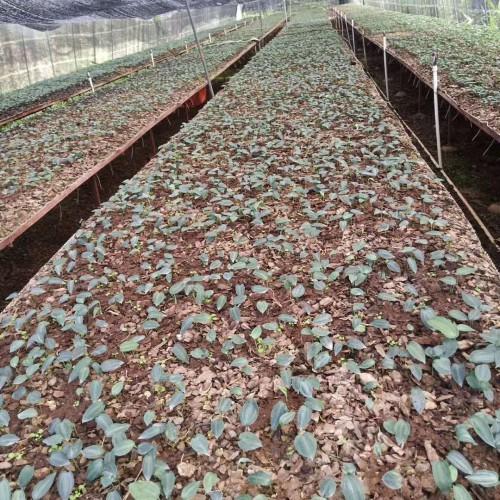 黄精栽种一亩项目投资是多少成本费?种植前景怎样?