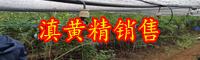 中药材黄精种子价钱多少钱一斤?栽培技术关键点详细介绍!