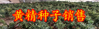 栽种黄精经济收益怎样?原产地有什么?能够补肾壮阳吗?
