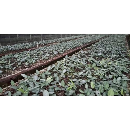 天然的黄精价钱多少钱一斤?苗木要多少钱一株?种植方式有什么?