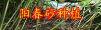 砂仁价格行情多少钱一斤?栽种两年盈利?1亩能产是多少斤?