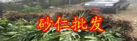 提升砂仁生产量的种植技术_阳春砂仁种植批发报价中心