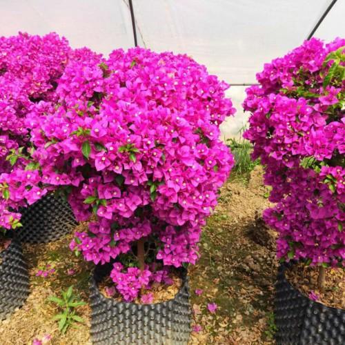 三角梅是赞比亚的国花吗?云南三角梅品种怎样?常见的三角梅品种?