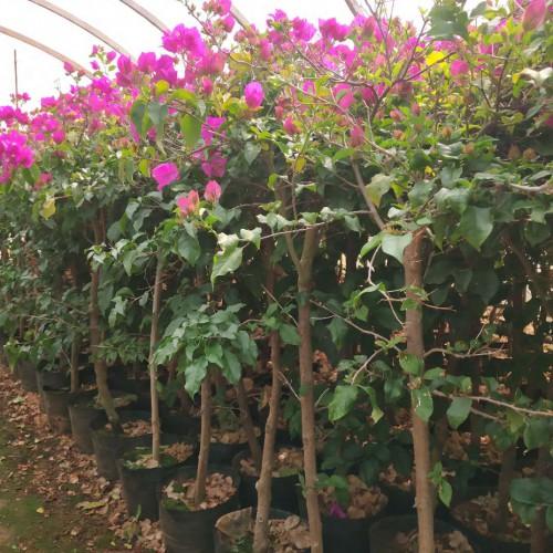 """""""常绿攀援状灌木""""三角梅的养殖方法和注意事项有哪些?几月份扦插最好? - 土流网"""