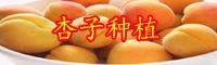 高产杏子苗种植技术_垂询热线