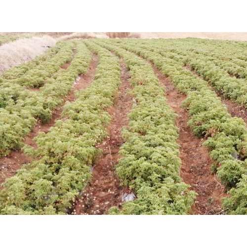 红河天兰葵|红河天竺葵的养殖方法爆盆