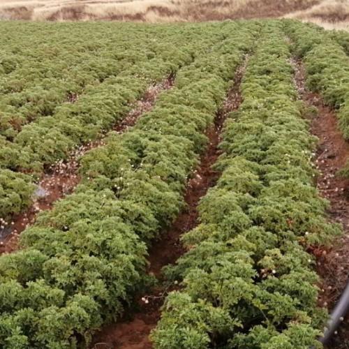 红河州、玉溪市的夏天养殖方法|天竺葵如何过夏天