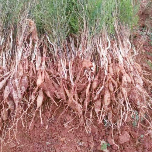 天冬价格家种+云南天冬价格家种小苗种子销售批发厂家